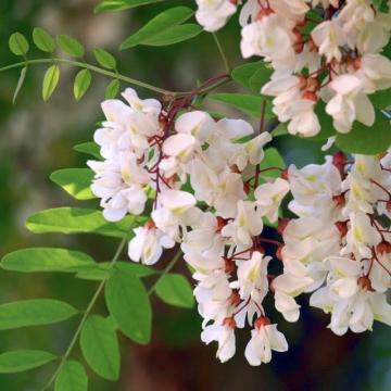acacia blossom: concealed love